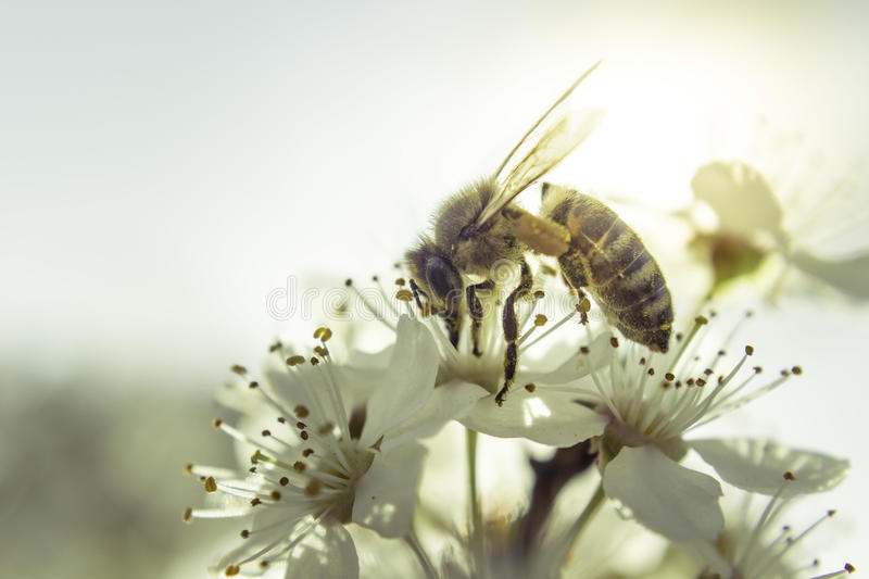 Bee White flower. Bee gathering nectar on white flower stock photos