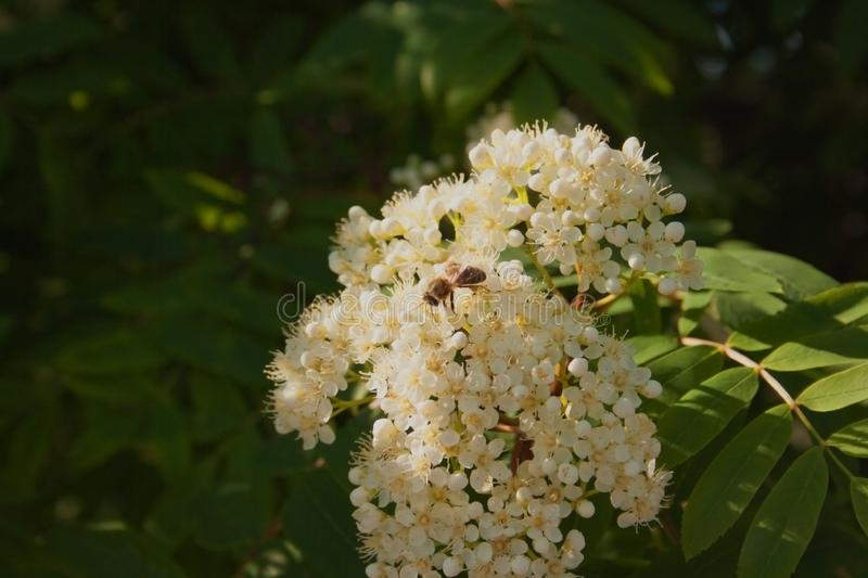 A bee on a white flower in the sunlight. Sunny green day. Spring nature. White beautiful flower. royalty free stock images