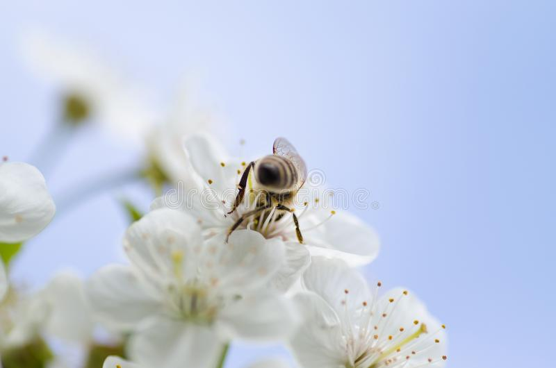 Bee in white flowers royalty free stock photo