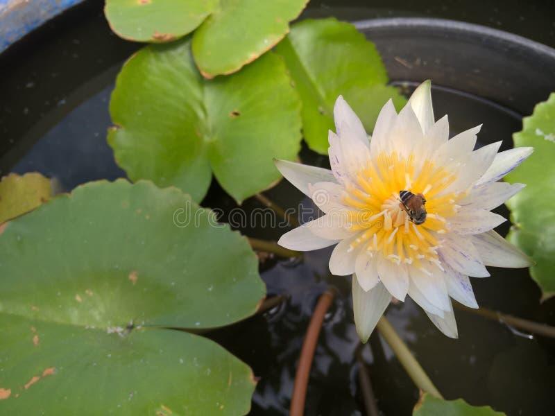 Bee on white lotus flower stock photos