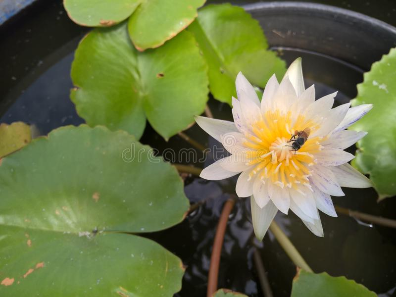 Bee on white lotus flower royalty free stock photo