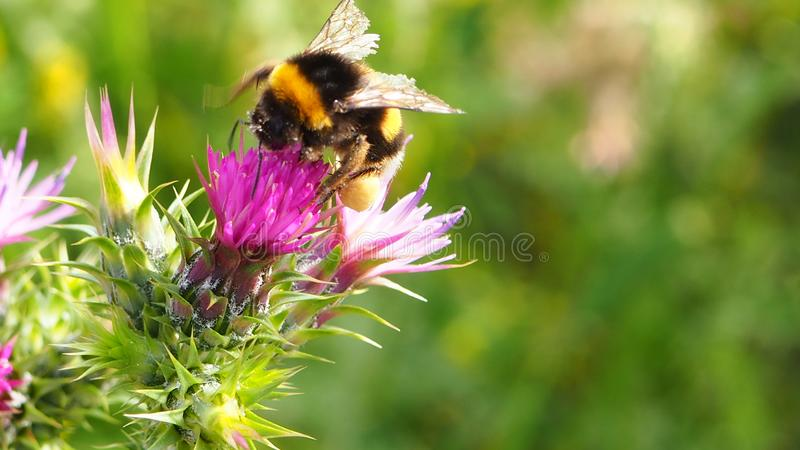 A bee on a wild flower stock image