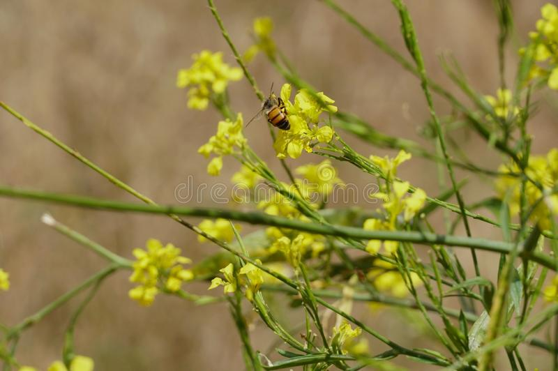 Bee in Wild Mustard. A bee enjoys some wild mustard at Los Penasquitos Canyon Preserve in San Diego, California royalty free stock photo