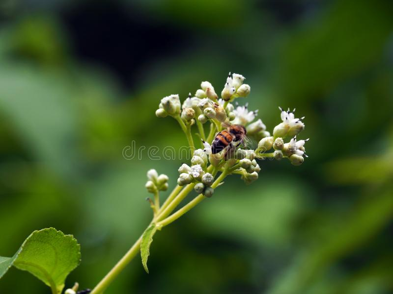 Bee on a wild white flowering bush in tropical Suriname South-America stock photos