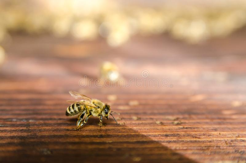 The bee on the wood. Macro royalty free stock photo