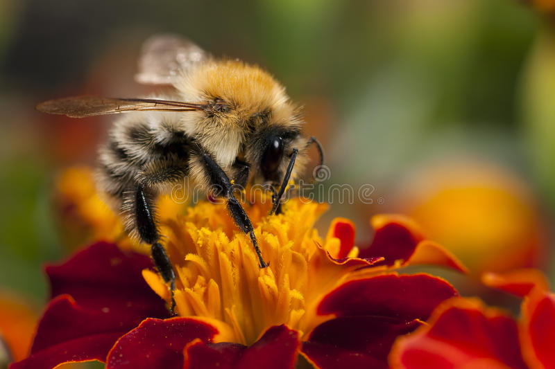 Bee at work. Bee on the red flower royalty free stock photos