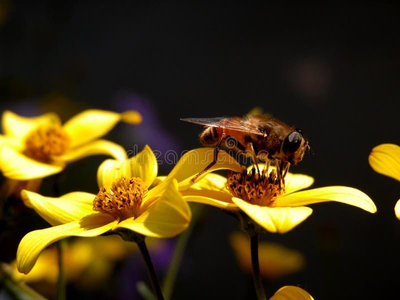 Bee at work stock photos