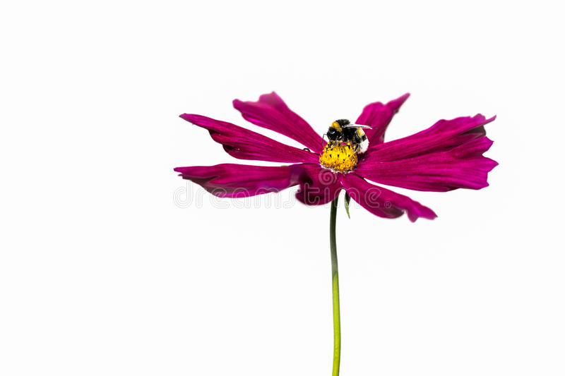 Bee at work. Closeup view of a  on a red flower isolated against white background stock photography