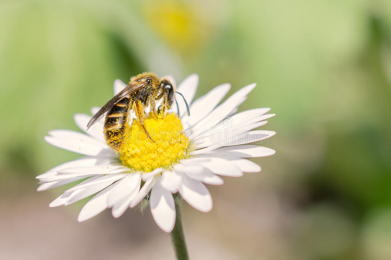 Bee at work on daisy stock photography