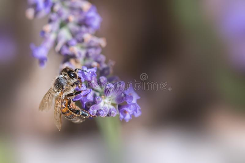 Bee at work on Lavender. Bee foraging on a sprig of lavender on a soft bokeh purple and green