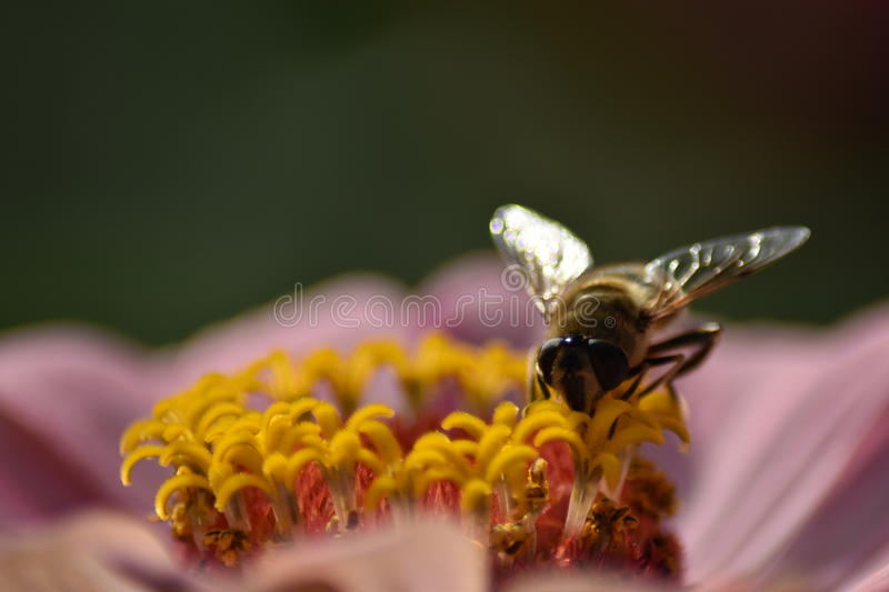 bee at work in sunshine cover royalty free stock photo