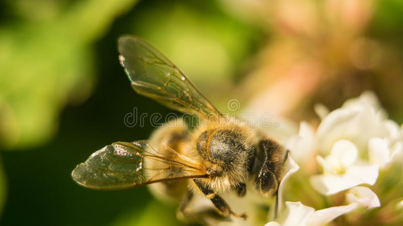 Bee at work on white clover flower collecting pollen A four leaves clover stock photo