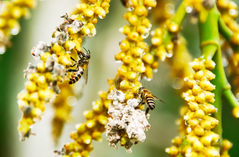 Bee. Worker bees are collecting nectar as pollen stock photo