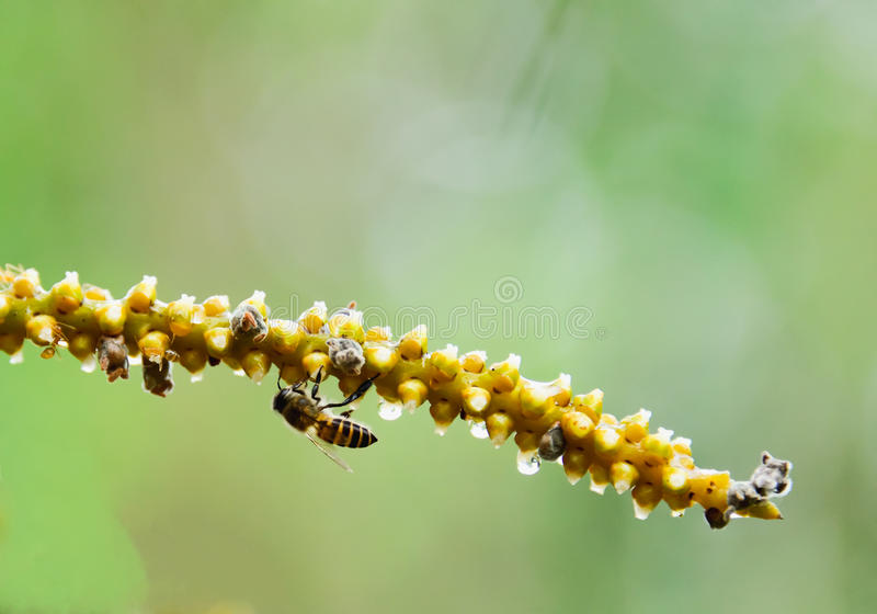 Bee. Worker bees are collecting nectar as pollen royalty free stock photography