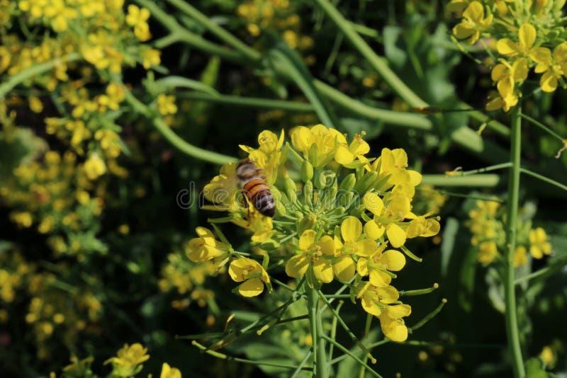 Download Bee Working Broccoli Flowers Stock Photo - Image: 83723100