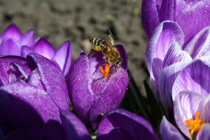 The bee is working on crocus. Purple crocuses on a sunny day royalty free stock photography