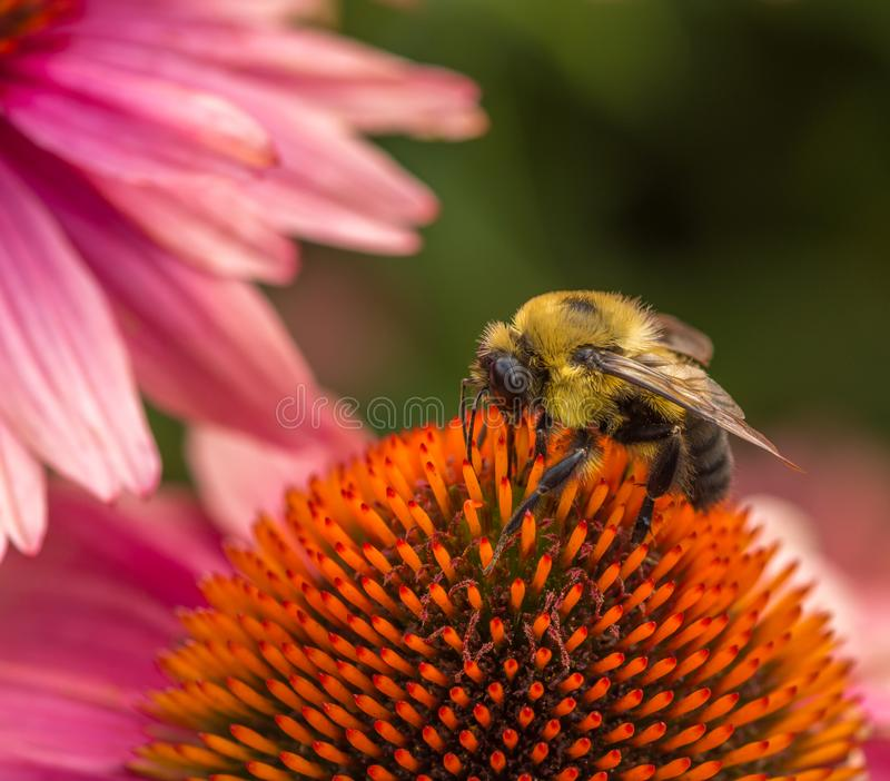Bee working hard to get the objective stock image
