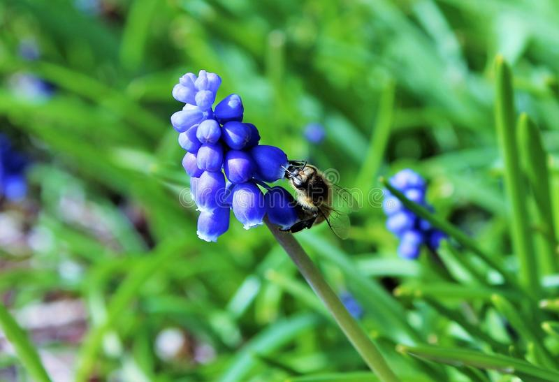 A bee working on muscari flowers royalty free stock image