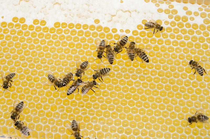 Bee working stock photography