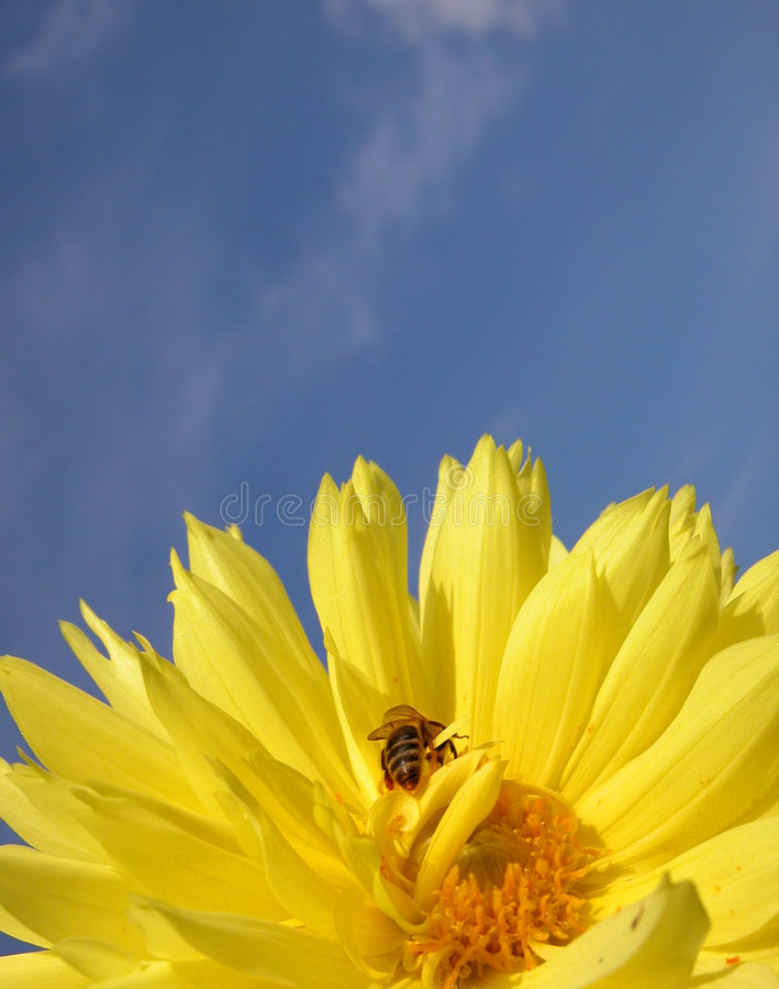 Bee on yellow dahlia royalty free stock photography