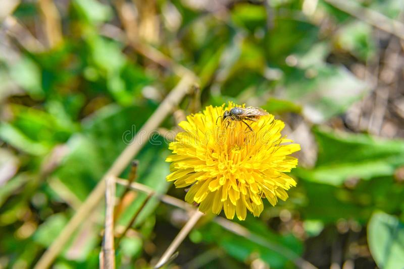 A bee on a yellow dandelion collects nectar for honey royalty free stock images