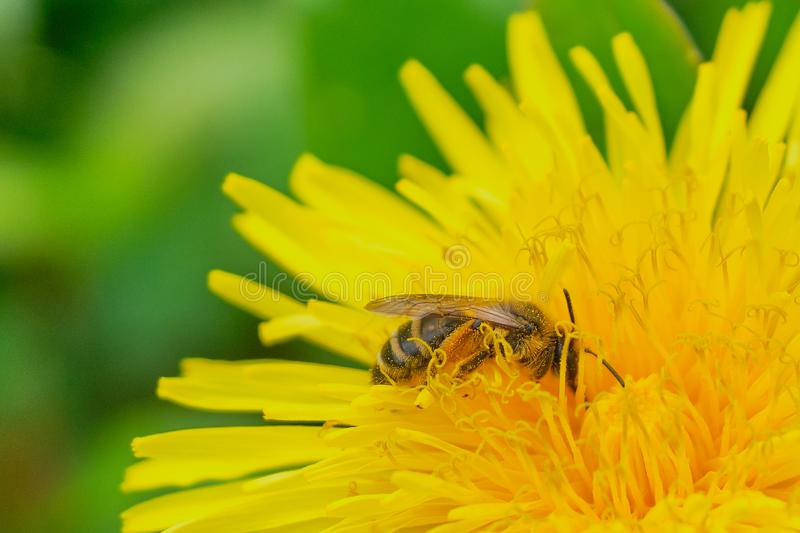 Bee in a yellow dandelion flower collecting pollen. Bee is collecting pollen in a yellow dandelion blossom stock image