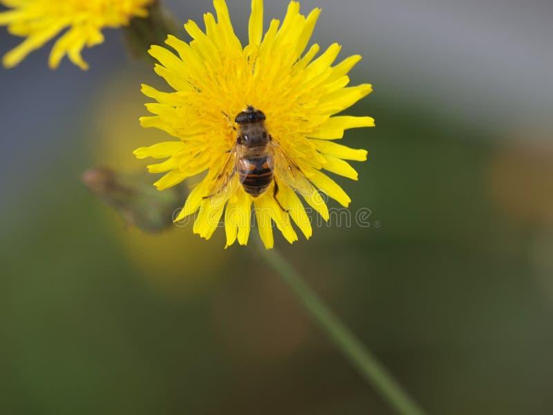 Bee on a yellow dandelion flower in park hitland in nieuwerkerk aan den IJssel in the Netherlands. royalty free stock photos