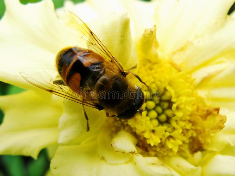 In the summer garden. wasp collects nectar on a yellow flower garden. Bee in a yellow flower. Ð¡lose-up bee on yellow flower collects nectar. Caucasian Bee royalty free stock photo