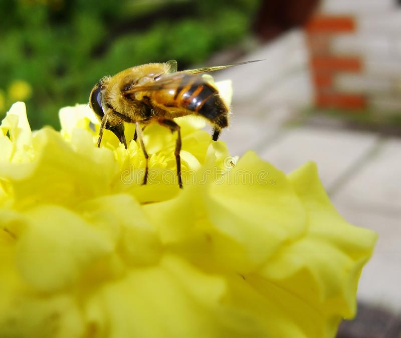 In the summer garden. wasp collects nectar on a yellow flower garden. Bee in a yellow flower. Ð¡lose-up bee on yellow flower collects nectar. Caucasian Bee royalty free stock photography