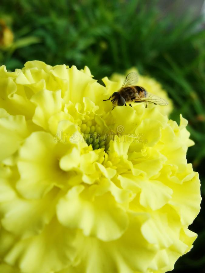 In the summer garden. wasp collects nectar on a yellow flower garden. Bee in a yellow flower. Ð¡lose-up bee on yellow flower collects nectar. Caucasian Bee royalty free stock image