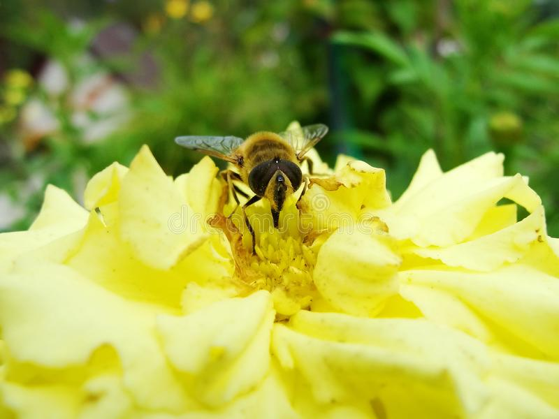 In the summer garden. wasp collects nectar on a yellow flower garden. Bee in a yellow flower. Ð¡lose-up bee on yellow flower collects nectar. Caucasian Bee stock photography