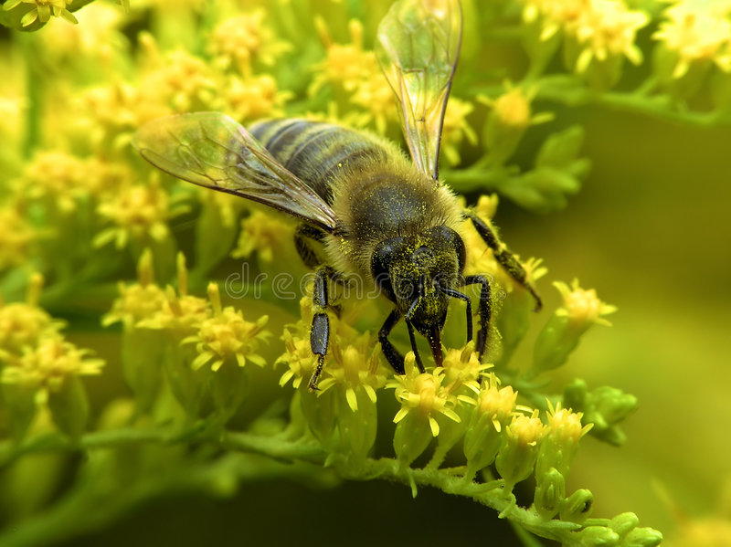 Bee on yellow flower royalty free stock images