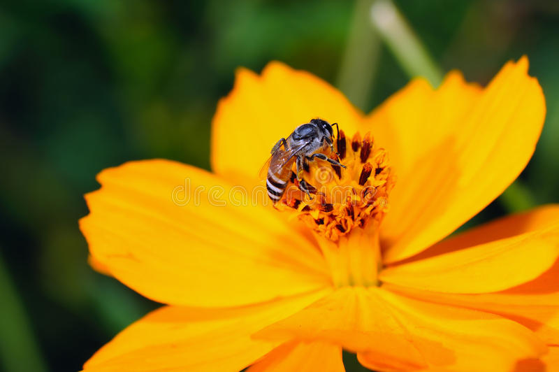 Download Bee on the yellow flower. stock photo. Image of flower - 22363650