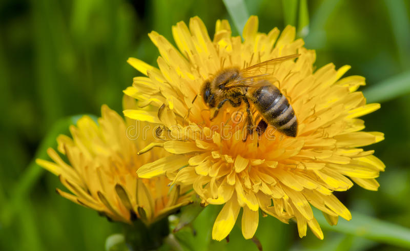 Bee on yellow flower. Close-up of bee on yellow flower, bee is pollinating the flower stock images