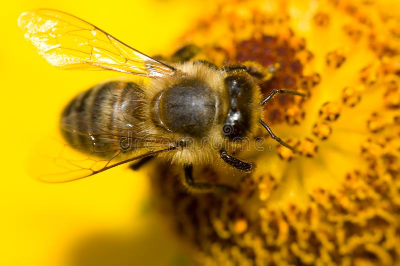 Download Bee on yellow flower stock image. Image of purple, summer - 6692839