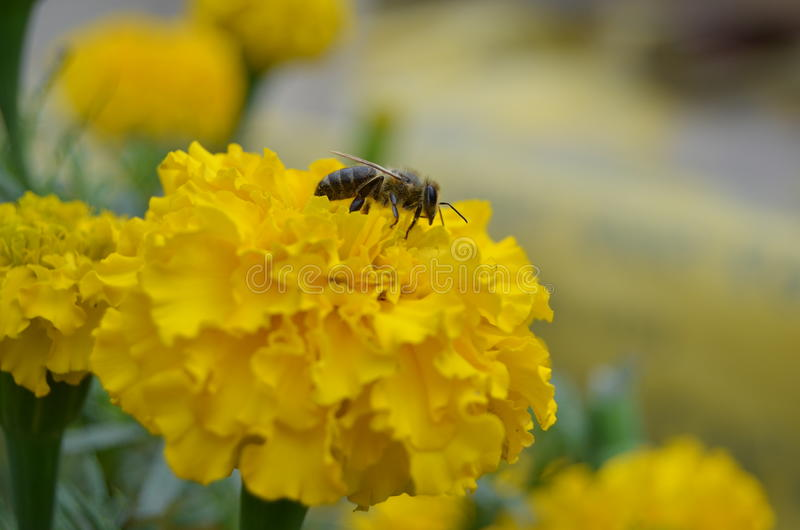 Bee on yellow flower stock photography