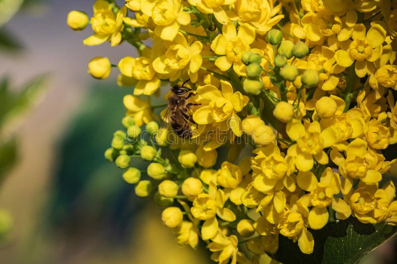 A bee on a yellow flower collects spring honey. A flowering plant of an evergreen shrub of Oregon grapes with feathery green stock photography