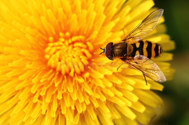 Bee on yellow flower. Bee on yellow dandelion flower, close-up stock image