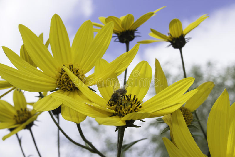 Bee on a yellow flower. Insect bee on yellow flower collects nectar in the summer stock photo