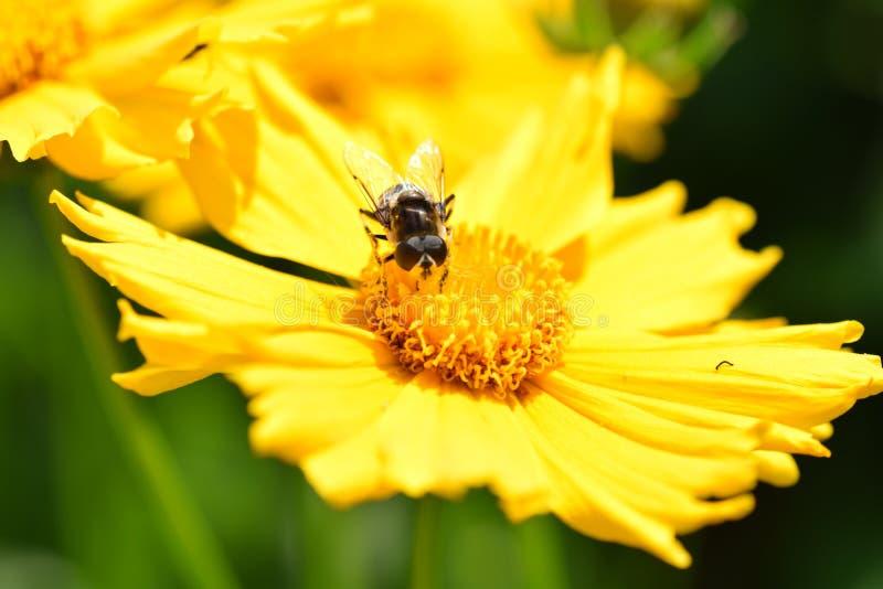 Bee on yellow flower stock image