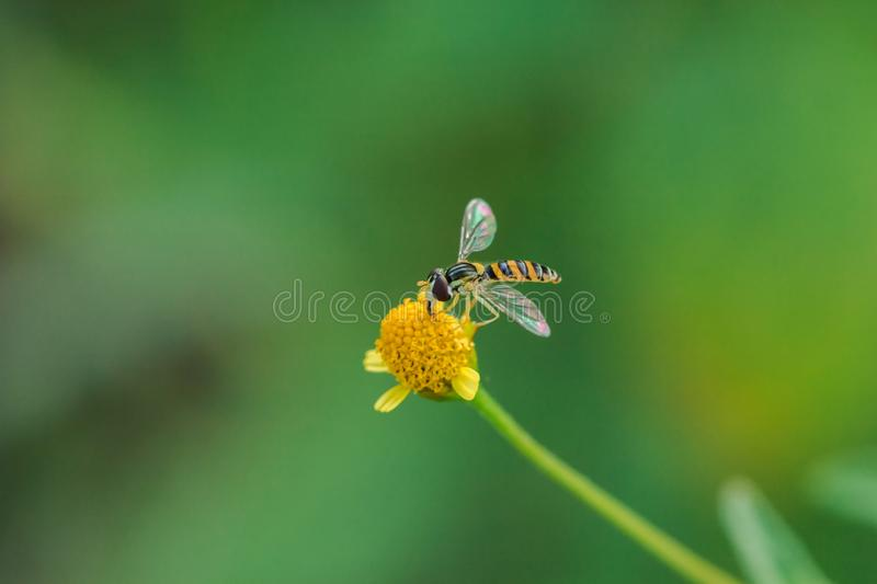 The bee is on the yellow flower pollen,. Is a macro photography royalty free stock image