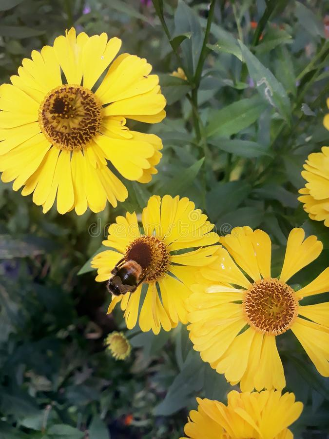 Bee and yellow flowers royalty free stock photos