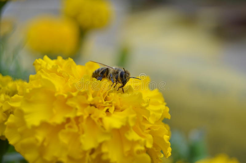 Bee on yellow marigold royalty free stock photo