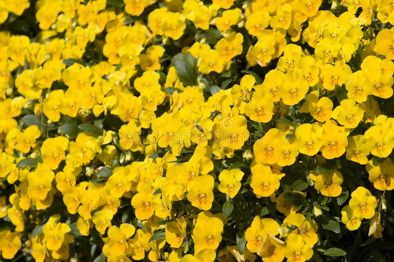 Download Bee on Yellow Pansies stock photo. Image of botany, pansy - 5021074
