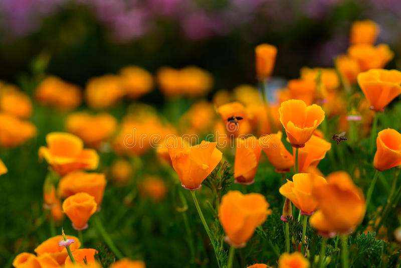 Bee and yellow poppies royalty free stock photo