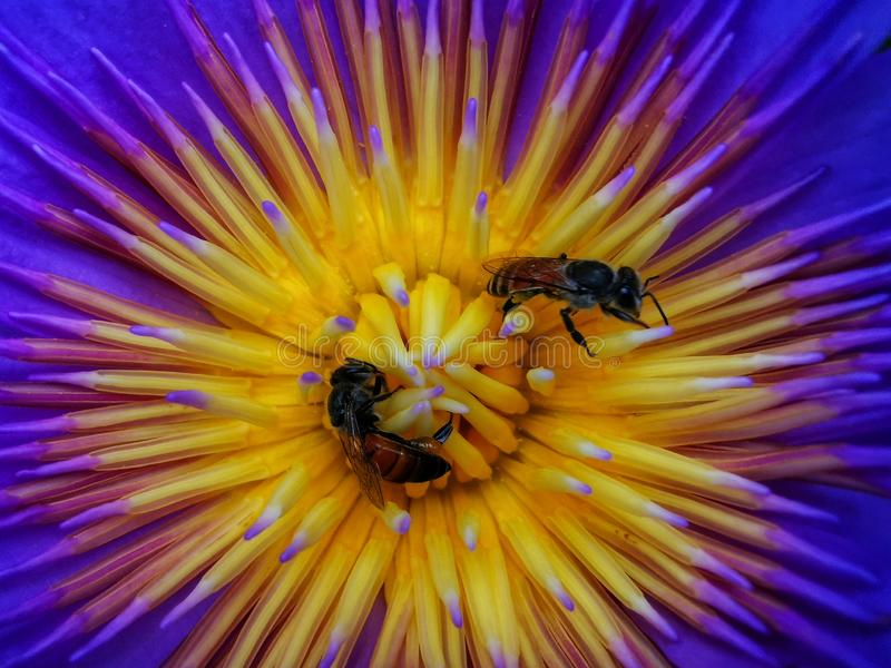Bee on a yellow and purple lotus background stock image