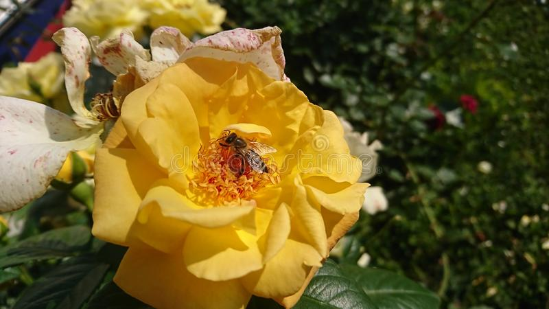 Bee On A Yellow Rose stock photos