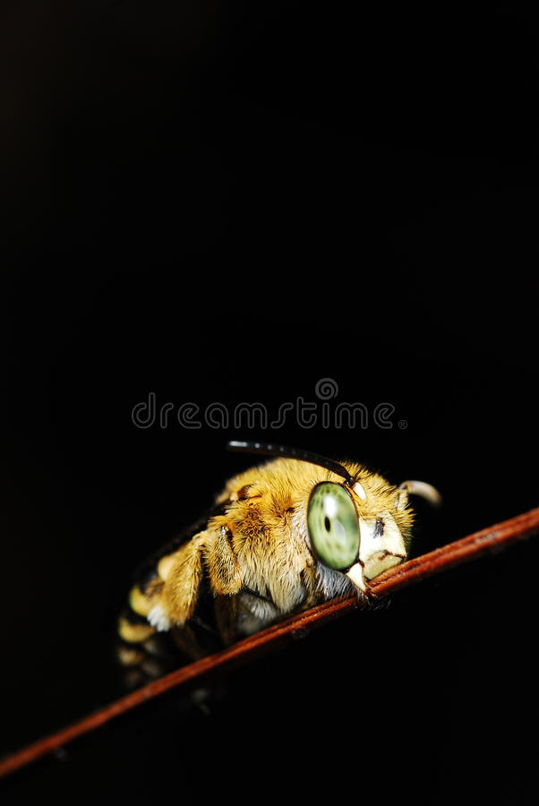 Download A Bee With Yellow Stripes Tummy Stock Photo - Image: 27277750