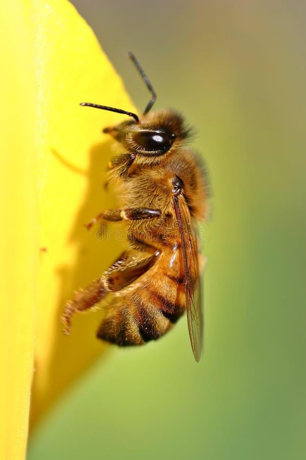 Free Bee Yellow Tulip Royalty Free Stock Image - 1176246