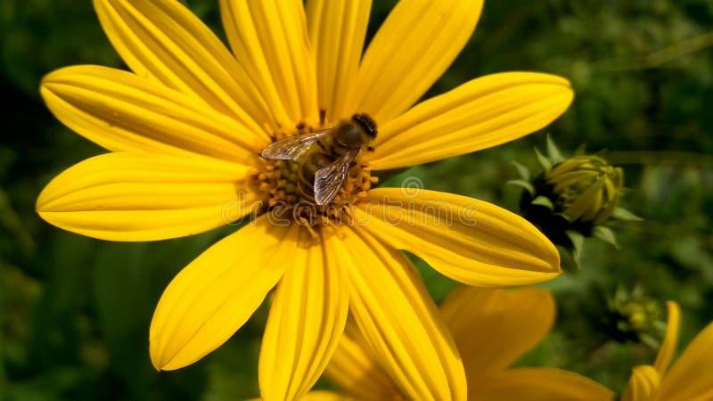 Bee on yellow wild flower royalty free stock photo